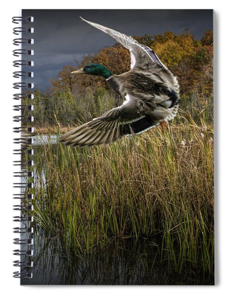 Drake Mallard Ducks Coming In For A Landing Spiral Notebook