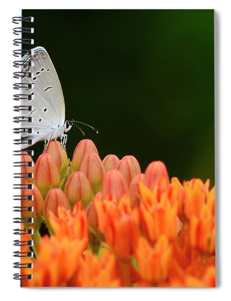 Eastern Tailed Blue On Butterfly Weed Spiral Notebook
