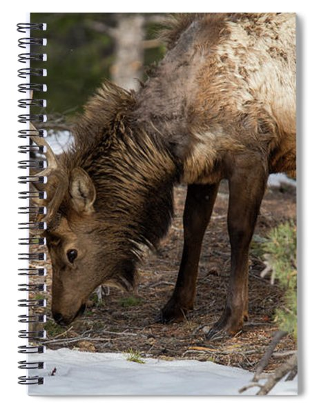 Elk Grazing In Rocky Mountain National Park Spiral Notebook