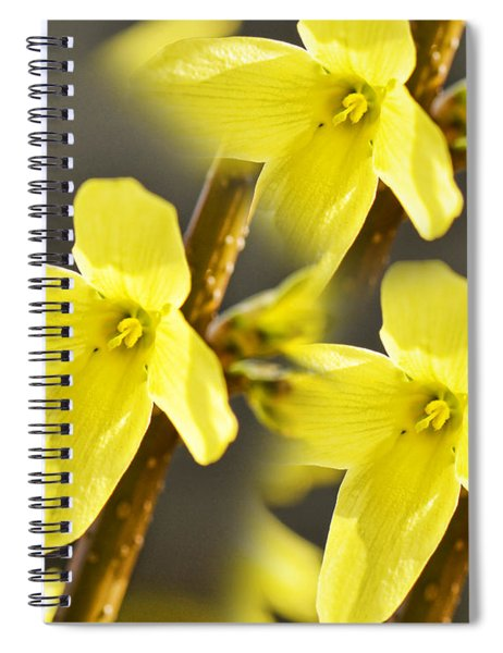 Forsythia Three Spiral Notebook