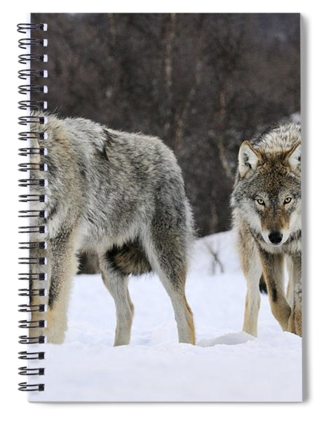 Gray Wolves Norway Spiral Notebook