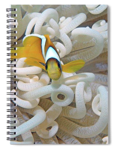 Juvenile Red Sea Clownfish, Eilat, Israel 3 Spiral Notebook