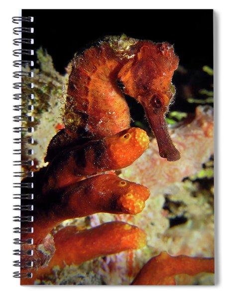 Longsnout Seahorse, St. Croix, U.s. Virgin Islands 2 Spiral Notebook