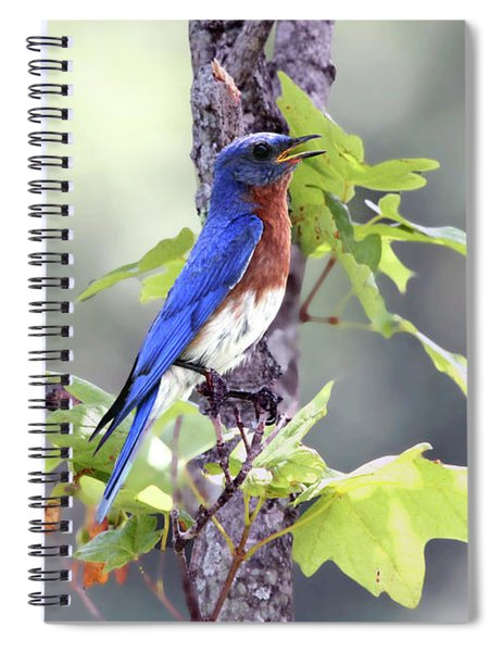 Male Bluebird Spiral Notebook