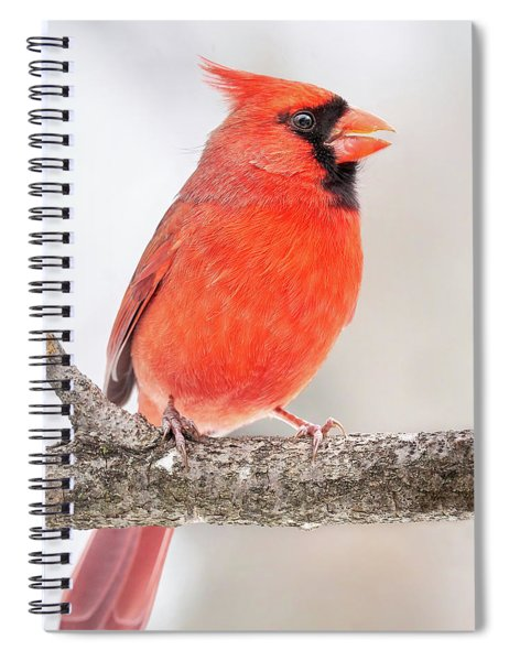 Male Cardinal In Winter Spiral Notebook