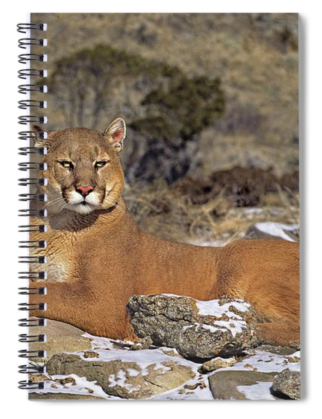 Mountain Lion Felis Concolor Captive Spiral Notebook