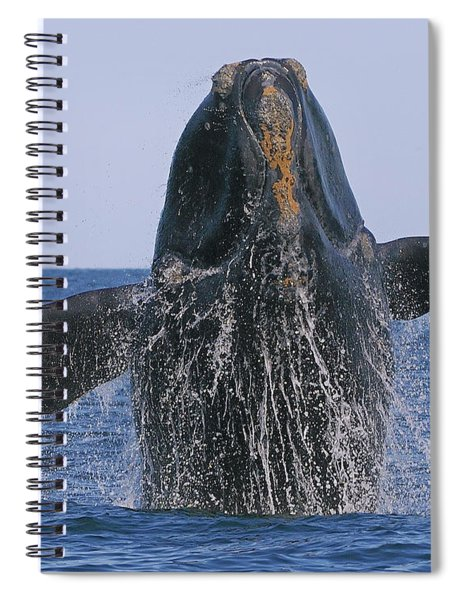 North Atlantic Right Whale Breaching Spiral Notebook