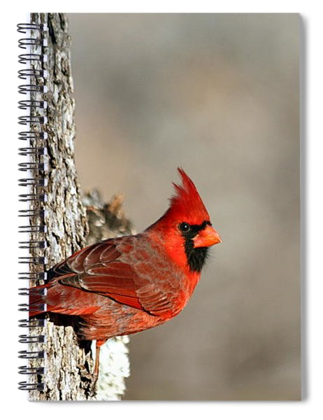 Northern Cardinal On Tree Spiral Notebook