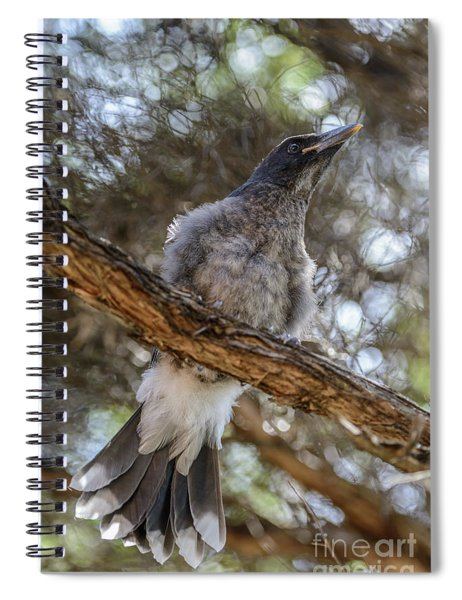 Pied Currawong Chick 1 Spiral Notebook