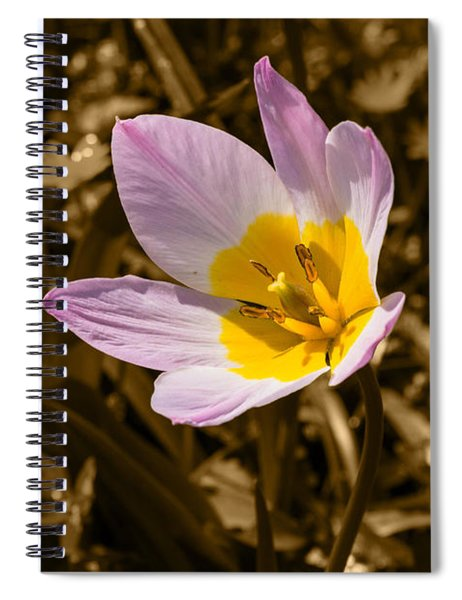 Pink And Yellow Tulip On Sepia Background Spiral Notebook