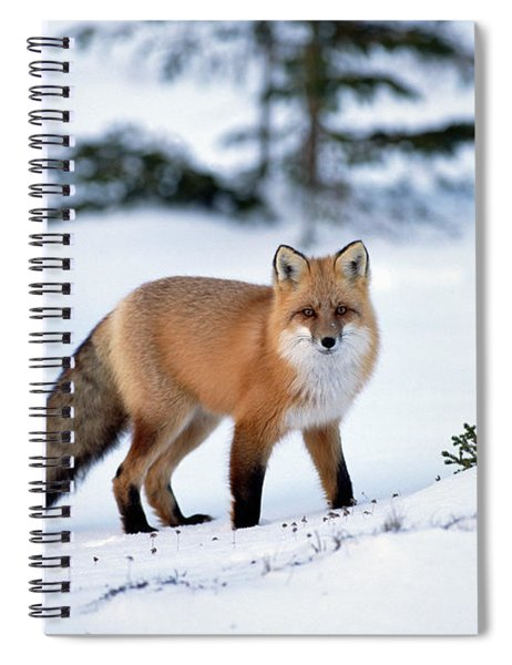 Red Fox Vulpes Vulpes Portrait Spiral Notebook