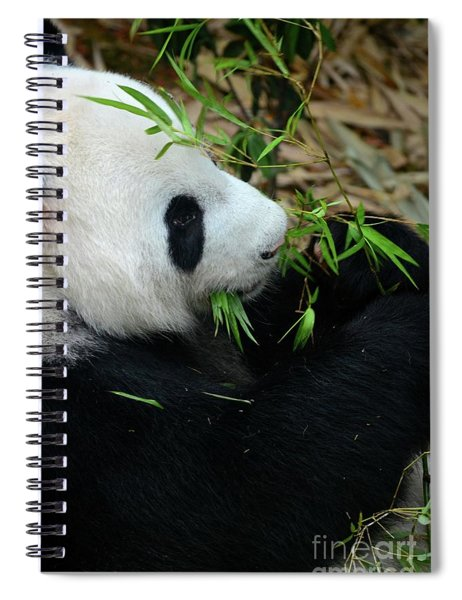 Relaxed Panda Bear Eats With Green Leaves In Mouth Spiral Notebook