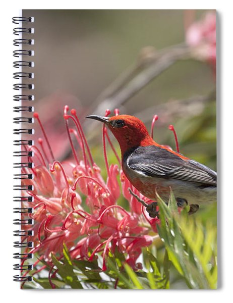 Scarlet Honeyeater Spiral Notebook