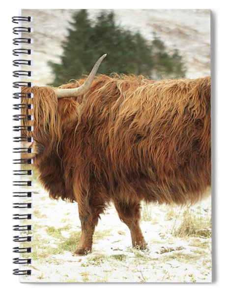 Scottish Red Highland Cow In Winter Spiral Notebook