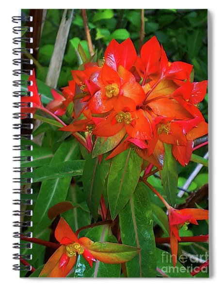 Spectacular Orange Euphorbia Or Spurge  Spiral Notebook