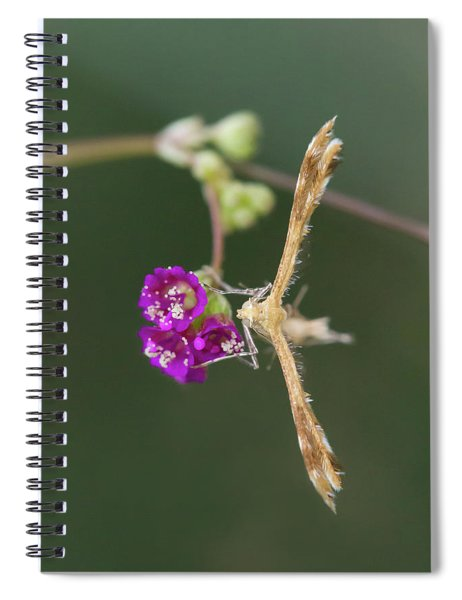 Spiderling Plume Moth On Wineflower Spiral Notebook