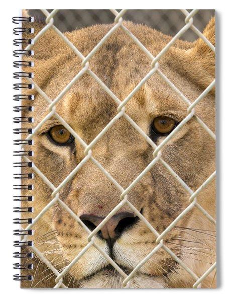 Staring Lioness Spiral Notebook