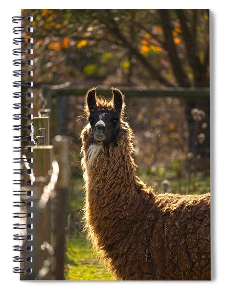 Staring Llama Spiral Notebook