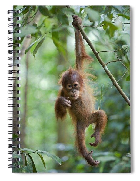 Sumatran Orangutan Pongo Abelii One Spiral Notebook