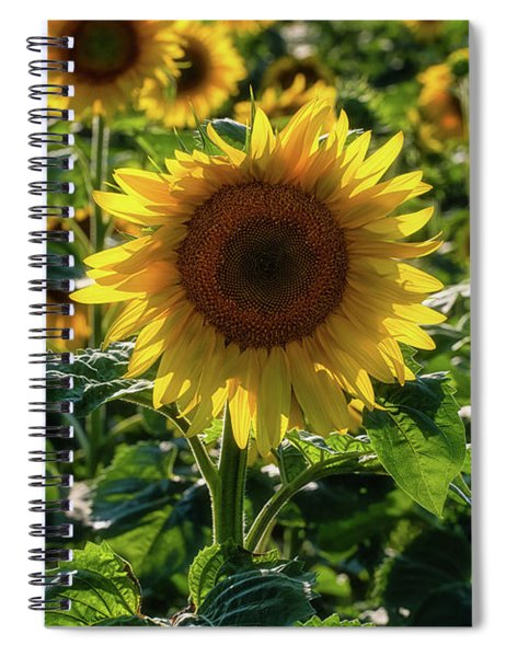 Spiral Notebook featuring the photograph Sunflowers 7 by Heather Kenward