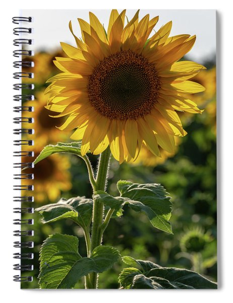 Spiral Notebook featuring the photograph Sunflowers 9 by Heather Kenward