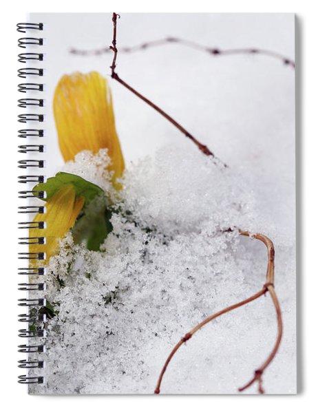 Winter Aconite Flowering In The Snow Spiral Notebook