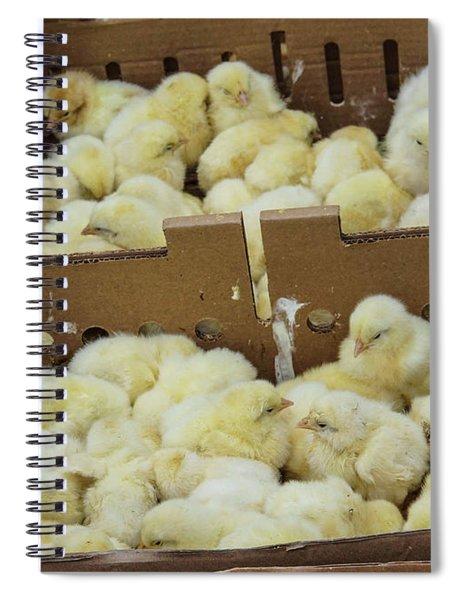 Baby Chicks  Spiral Notebook