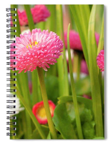 Bellis Daisies In Spring Time Closeup Spiral Notebook