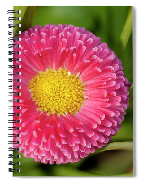 Bellis Daisy Flower Close Up In Spring Time Spiral Notebook