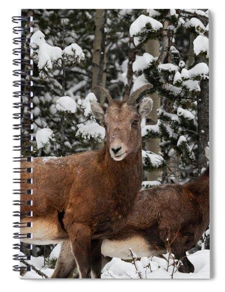 Bighorn Sheep In Deep Snow Spiral Notebook