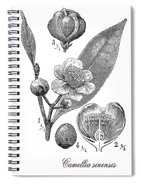 Camellia Sinensis, Botanical Vintage Engraving Spiral Notebook