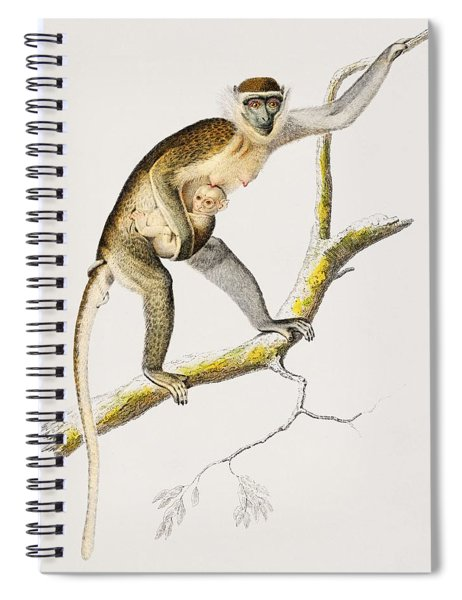 Cercopithecus Griseus  Guenon Grivet  Illustrated By Charles Dessalines D' Orbigny  1806-1876  Spiral Notebook
