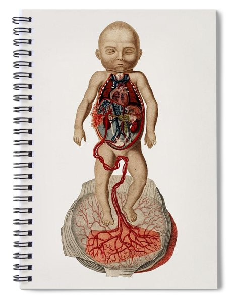 Circulation Of The Blood In A Fetus Illustrated By Charles Dessalines D' Orbigny  1806-1876  Spiral Notebook