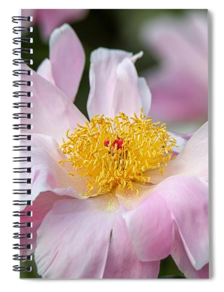 Delicate Pink Peony Spiral Notebook