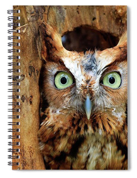 Eastern Screech Owl Perched In A Hole In A Tree Spiral Notebook