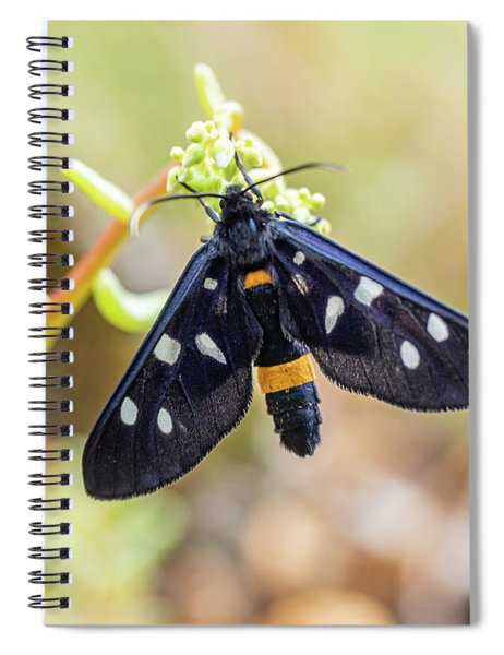 Fegea - Amata Phegea -black Insect With White Spots And Yellow Details Spiral Notebook