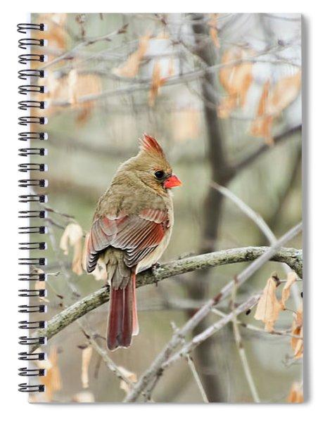 Female Cardinal In Winter Spiral Notebook