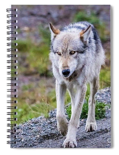 Grey Wolf In Denali National Park, Alaska Spiral Notebook