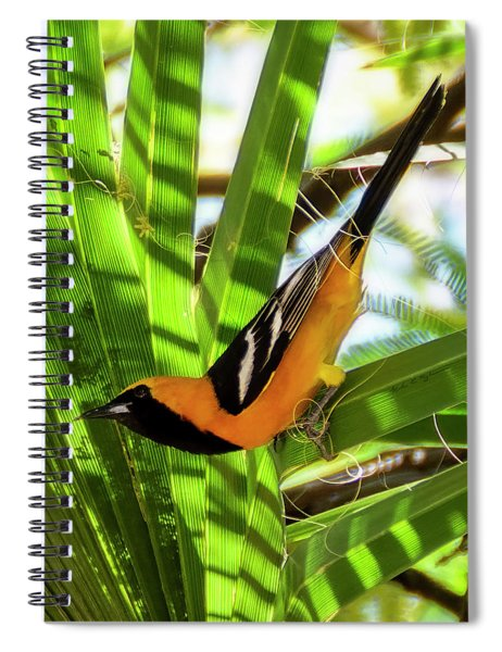Hooded Oriole V1912 Spiral Notebook
