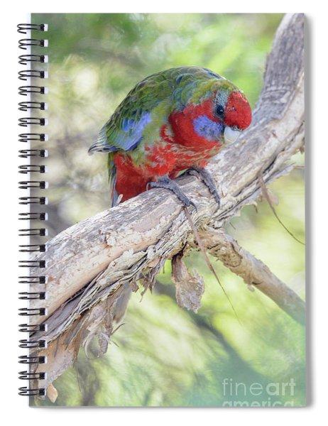 Juvenile Crimson Rosella 02 Spiral Notebook
