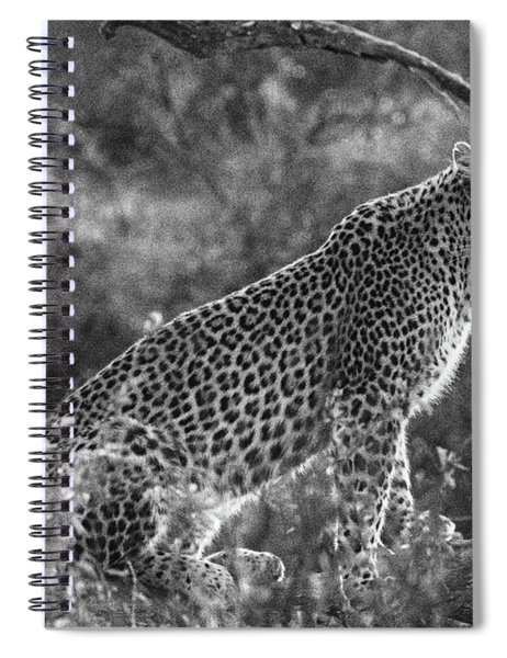 Leopard Sitting Black And White Spiral Notebook