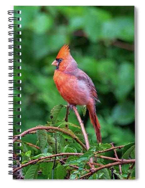 Northern Cardinal Male - Redbird Spiral Notebook