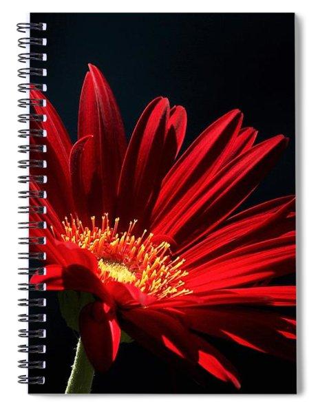 Red Gerber Daisy In Spotlight Spiral Notebook