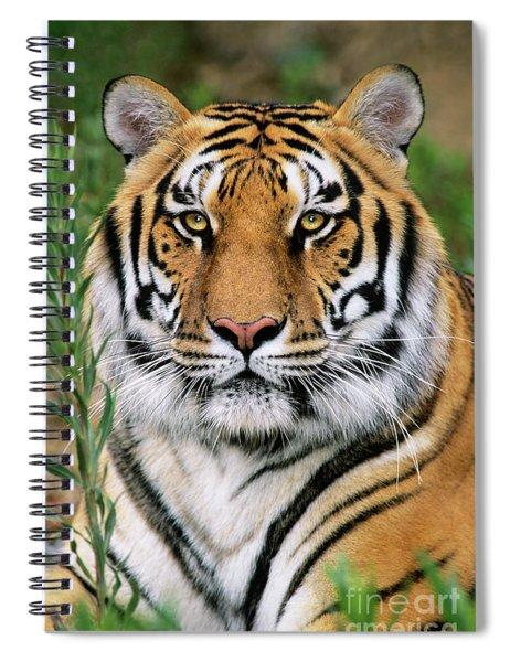 Siberian Tiger Staring Endangered Species Wildlife Rescue Spiral Notebook