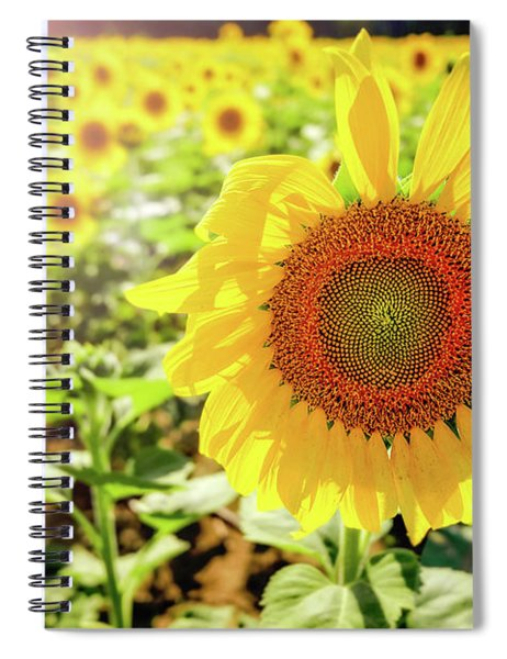 Sunflowers Spiral Notebook by Robert Bellomy