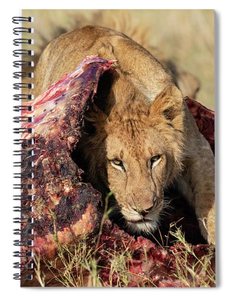 Young Lion On Cape Buffalo Kill Spiral Notebook