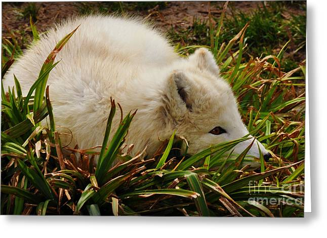 Greeting Card featuring the photograph  A White Fox by Mindy Bench