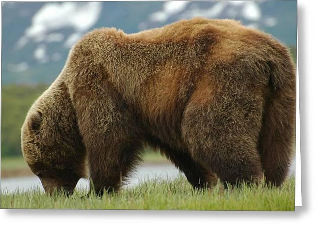 Alaska Grizzly Greeting Card
