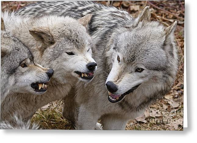 Greeting Card featuring the photograph  Alpha Displeasure 2 by Wolves Only