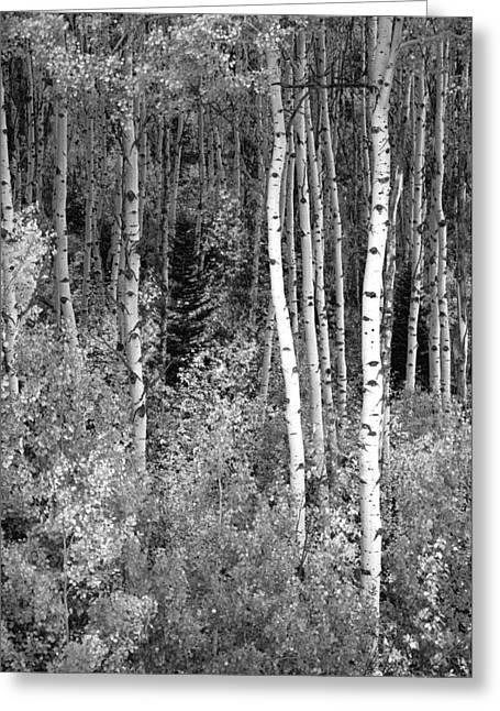 Greeting Card featuring the photograph  Aspen Autumn  by Eric Rundle